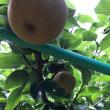 【月に一度のそば打ち教室✨旬の梨を農家さんへ買いに行きました】