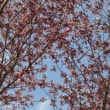 桜が咲き始めました♪♪♪