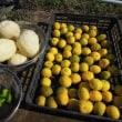 畑の柚子、橙の様子&ブロ友さんから頂いたコンニャク芋から、こんにゃく作りました~