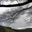 長沢「月光桜」蕾少し膨らむ0315