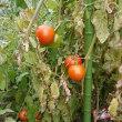 奇跡の様な転院、収穫したトマトを食べられる様になって欲しいわ(*^^*)