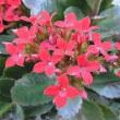 季節の花「カランコ」