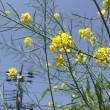 野良菜の花