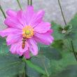 咲いた石蕗(つわぶき)