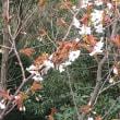 うすべにに葉はいち早く萌えいでて