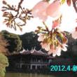 桜開花♪春ですねえ♪