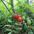 2018ミニトマト初収穫まぢか
