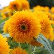 向日葵祭り