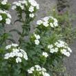 ハマナデシコの花が