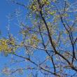 おはようの花」 栴檀(センダン)の実12月