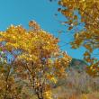 称名滝近くの黄葉