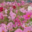 コスモスの花(伊万里)