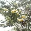 真冬の雪の下で咲く不思議な「雪中花」の越前水仙