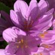 コルチカム・イヌサフランの花が、咲く