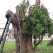 彼岸花と一本杉