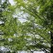 メタセコイアの木