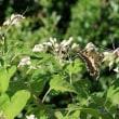 臭木の花にて吸蜜のキアゲハチョウ