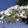 すっきり晴れて爽やか、桜の蕾もふっくらと!