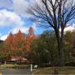 メタセコイアの大樹三本紅葉す