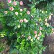 寒菊につぼみが、この頃が一番楽しみで…