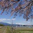 常盤橋◇穂高川◇一本桜