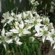 季節の花「韮(にら)」