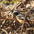 2018/01/18 紀ノ川のジョウビタキ
