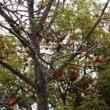 ユリノキ(モクレン科・ユリノキ属)落葉高木 果実
