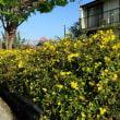 庭の花の咲く木達        2018.04.22.