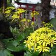 季節の花「石蕗 (つわぶき)」