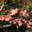 紅葉が盛んです。