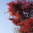 筑波山イロハモミジ紅葉