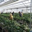 今日もイチゴ摘み & キヤッセ羽生 四季の丘のビオラたち