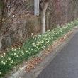 別名雪中花という水仙が咲いていた