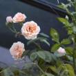 お盆の入りに咲く真紅のバラ