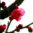 寒紅梅が咲きました。