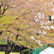 地元の桜まつり➡葉桜まつり