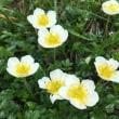 鳥海山の花