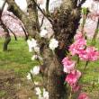 Prunus persica ❛Issun Boshi❜