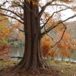 メタセコイア - 石神井公園