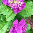 花だより・・・。2018『紫陽花』