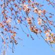 種まき&桜開花