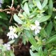 クフェア・ヒッソピフォリア Cuphea Hyssopifolia