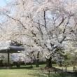 ツアーで福島の桜を見に行きました。(2)伊佐須美神社の薄墨桜、石部桜(八重の桜)