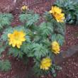 庭の福寿草の開花