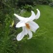庭に咲いたシンテッポウユリ