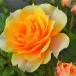 庭の薔薇。