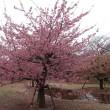 代々木公園の河津桜  2018