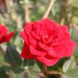 「おはようの花」 バラ(薔薇(赤)1月