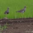 今日の鳥コレクション・・・ケリ